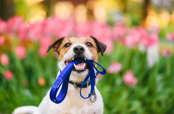 The importance of walking your dog - dog holding leash.